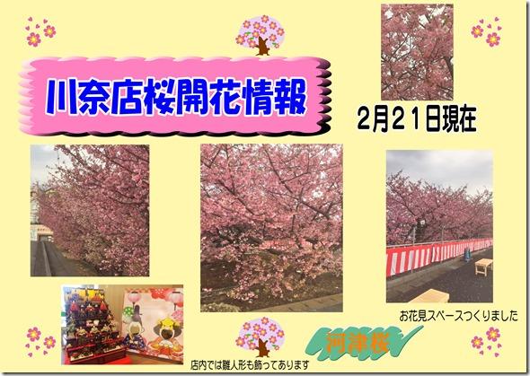 川奈店桜情報2月21日